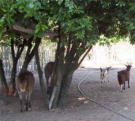 Foto dell'asino, delle caprette e del pony