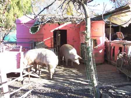 Foto dei maiali