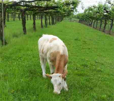 Foto della mucca Krava