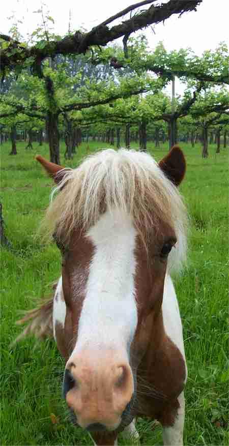 Foto del pony Pino